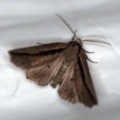 Nisista undescribed species (genus) (A geometer moth) at Tidbinbilla Nature Reserve - 11 Nov 2018 by ibaird