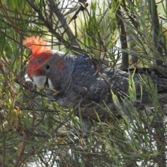 Callocephalon fimbriatum (Gang-gang Cockatoo) at Wingecarribee Local Government Area - 3 Dec 2016 by GlossyGal