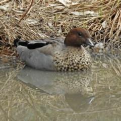 Chenonetta jubata (Australian Wood Duck) at Paddys River, ACT - 19 Feb 2020 by RodDeb