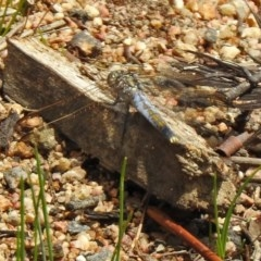 Orthetrum caledonicum (Blue Skimmer) at Paddys River, ACT - 19 Feb 2020 by RodDeb