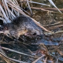 Hydromys chrysogaster (Rakali or Water Rat) at Belconnen, ACT - 27 Jun 2015 by dhkmapr
