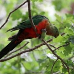 Alisterus scapularis (Australian King-Parrot) at Cotter Reserve - 19 Feb 2020 by RodDeb