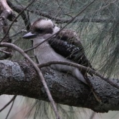 Dacelo novaeguineae (Laughing Kookaburra) at Cotter Reserve - 19 Feb 2020 by RodDeb