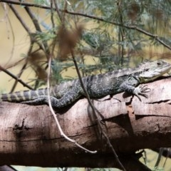 Intellagama lesueurii howittii (Gippsland Water Dragon) at Paddys River, ACT - 19 Feb 2020 by RodDeb