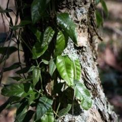Parsonsia straminea (Common Silkpod) at Bundanoon - 19 Feb 2020 by Boobook38