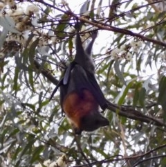 Pteropus poliocephalus (Grey-headed Flying-fox) at Broulee, NSW - 21 Feb 2020 by LisaH