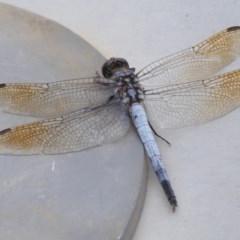 Orthetrum caledonicum (Blue Skimmer) at Moruya, NSW - 21 Feb 2020 by LisaH