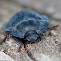 Pterohelaeus sp. (genus) (Pie-dish beetle) at Mulligans Flat - 26 Jan 2020 by kdm