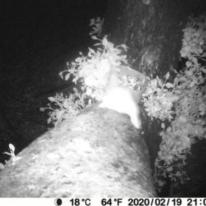 Petaurus breviceps at Bendalong, NSW - 19 Feb 2020
