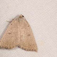 Amelora undescribed species (A Geometrid moth) at Melba, ACT - 17 Apr 2018 by kasiaaus
