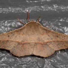 Antictenia punctunculus (A geometer moth) at Melba, ACT - 5 Jan 2013 by kasiaaus