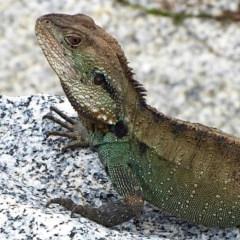 Intellagama lesueurii howitti (Gippsland Water Dragon) at Moruya, NSW - 20 Feb 2020 by MaxCampbell