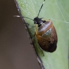 Monteithiella humeralis (Pittosporum bug) at ANBG - 21 Feb 2020 by WHall