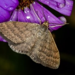 Scopula rubraria (Reddish Wave) at Melba, ACT - 25 Nov 2013 by Bron