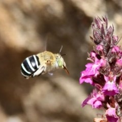 Amegilla sp. (genus) (Blue Banded Bee) at ANBG - 21 Feb 2020 by RodDeb