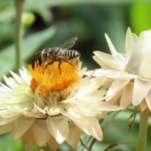 Megachile (Eutricharaea) sp. (subgenus) at ANBG - 21 Feb 2020