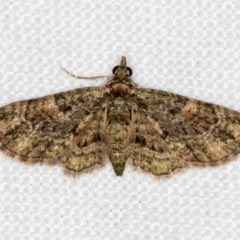 Chloroclystis catastreptes (Green and Brown Carpet) at Melba, ACT - 23 Dec 2017 by Bron