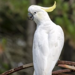 Cacatua galerita (Sulphur-crested Cockatoo) at Penrose - 20 Feb 2020 by Aussiegall