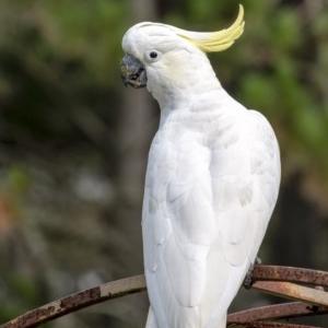 Cacatua galerita at Penrose, NSW - 21 Feb 2020