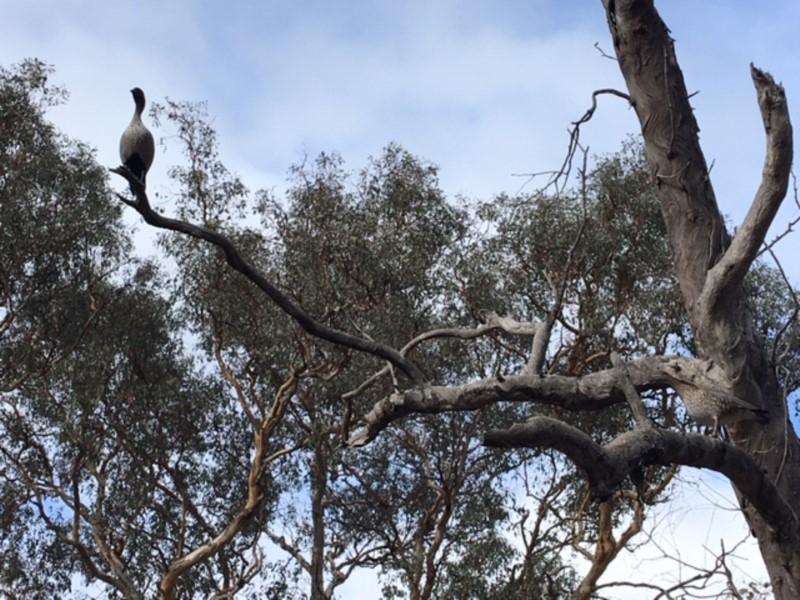 Chenonetta jubata at Red Hill Nature Reserve - 23 Feb 2020