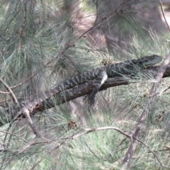 Intellagama lesueurii howittii (Gippsland Water Dragon) at Uriarra Village, ACT - 22 Feb 2020 by SandraH