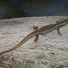 Eulamprus heatwolei (Yellow-bellied Water-skink) at Cotter Reserve - 22 Feb 2020 by SandraH
