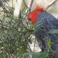 Callocephalon fimbriatum (Gang-gang Cockatoo) at Wollondilly Local Government Area - 6 Oct 2019 by GlossyGal