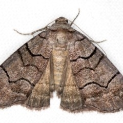 Dysbatus singularis (Dry-country Line-moth) at Melba, ACT - 23 Dec 2017 by Bron