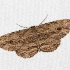 Ectropis (genus) (An engrailed moth) at Melba, ACT - 26 Dec 2017 by Bron