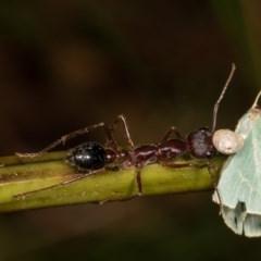 Myrmecia pyriformis (A Bull ant) at Bimberi Nature Reserve - 7 Feb 2019 by kasiaaus