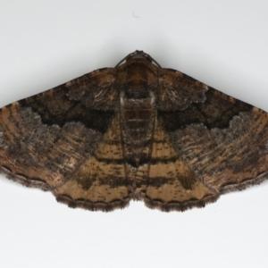 Aporoctena (genus) at Ainslie, ACT - 18 Feb 2020