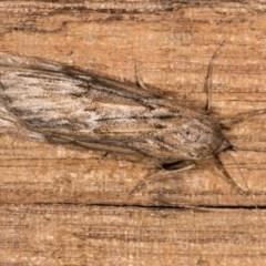 Ciampa arietaria (Forked Pasture-moth) at Melba, ACT - 5 May 2018 by kasiaaus