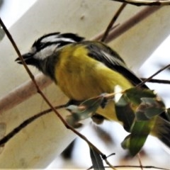 Falcunculus frontatus (Crested Shrike-tit) at Tidbinbilla Nature Reserve - 22 Feb 2020 by JohnBundock