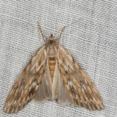 Ciampa arietaria (Forked Pasture-moth) at Tidbinbilla Nature Reserve - 9 May 2018 by kasiaaus