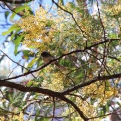 Acacia parramattensis (TBC) at Alpine, NSW - 30 Sep 2018 by JanHartog