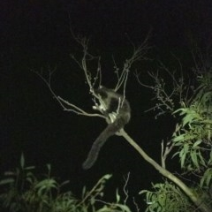 Petauroides volans (Greater Glider) at Penrose, NSW - 23 Feb 2020 by Aussiegall