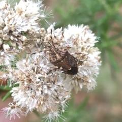 Oncocoris sp. (genus) (A stink bug) at Brindabella National Park - 22 Feb 2020 by Jubeyjubes