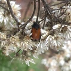 Phyllotocus sp. (genus) (Nectar scarab) at Brindabella National Park - 22 Feb 2020 by Jubeyjubes