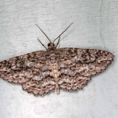 Ectropis fractaria (Ringed Bark Moth) at Melba, ACT - 2 Jan 2018 by Bron