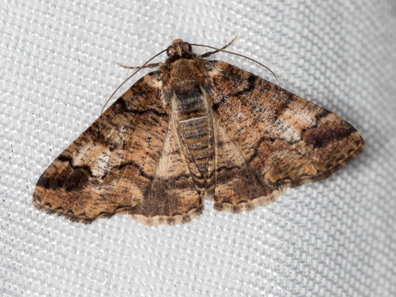 Cryphaea xylina at Melba, ACT - 4 Jan 2018