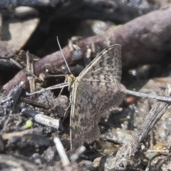 Scopula rubraria (Plantain Moth) at Googong, NSW - 23 Feb 2020 by WHall