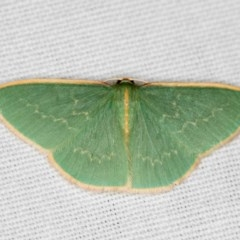 Chlorocoma dichloraria (Doubled-fringed or Guenee's Emerald) at Black Mountain - 24 Jan 2018 by Bron