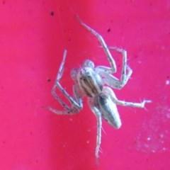 Oxyopes sp. (genus) (Lynx spider) at Flynn, ACT - 22 Feb 2020 by Christine