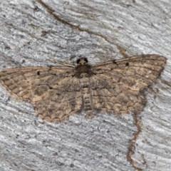 Psilosticha pristis (Little Brown Bark Moth) at Black Mountain - 24 Jan 2018 by Bron