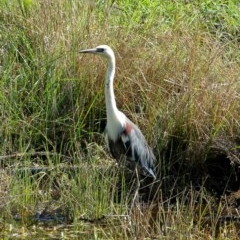 Ardea pacifica (White-necked Heron) at Burradoo - 23 Feb 2020 by Snowflake