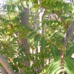 Ailanthus altissima at Majura, ACT - 16 Feb 2007