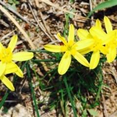 Tricoryne elatior (Yellow Rush Lily) at Black Mountain - 23 Feb 2020 by RWPurdie