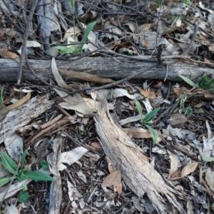 Plantago varia at Red Hill Nature Reserve - 22 Feb 2020