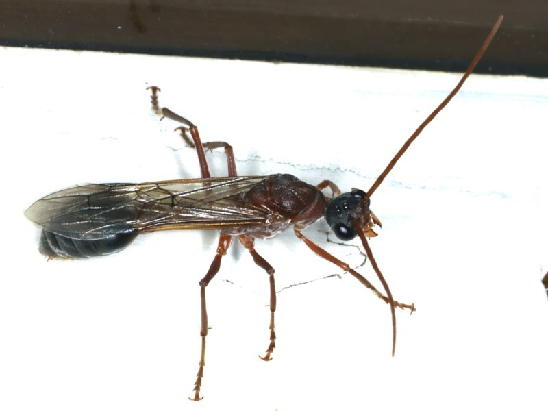Myrmecia sp. (genus) at Ainslie, ACT - 17 Feb 2020