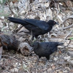 Corcorax melanorhamphos (White-winged Chough) at Red Hill Nature Reserve - 22 Feb 2020 by JackyF